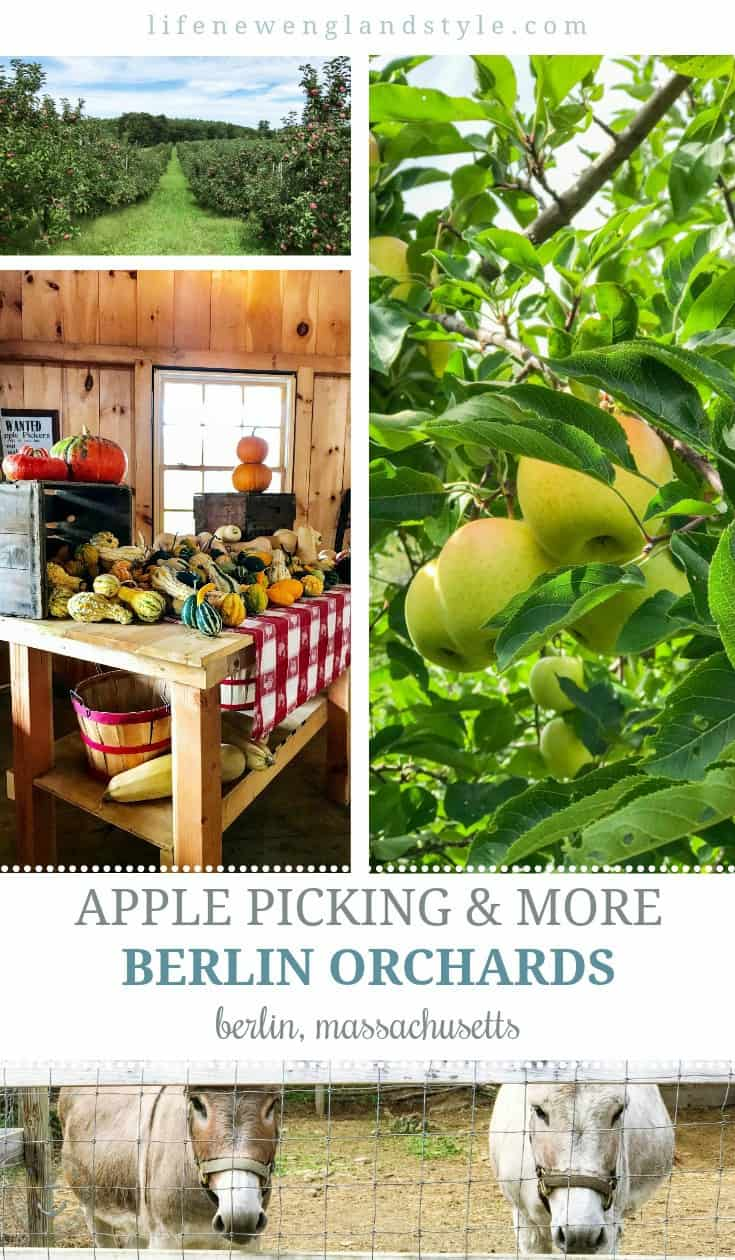 Apple Picking and More at Berlin Orchards in Berlin, MA. Pick many kinds of apples, visit the store for jams and donuts, or visit the animals. They have pumpkins, too! #newengland #appleorchard #applepicking #autumn #fall #newenglandtravel